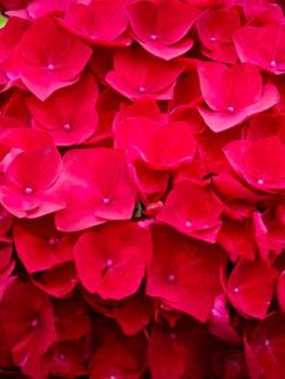 Cardinal Red Hydrangea