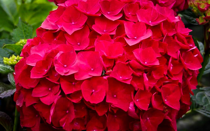 Cardinal Red Hydrangea | The Tree Center™