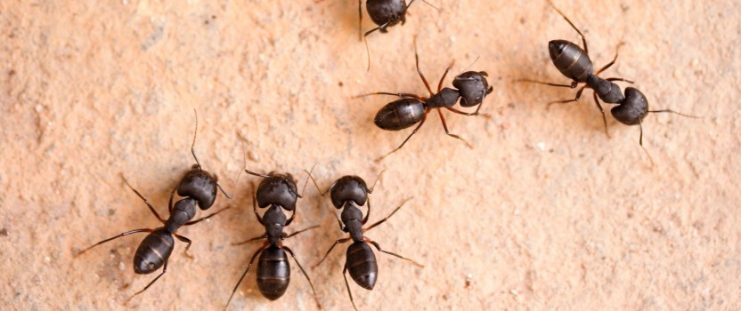 Getting Rid Of Carpenter Ants