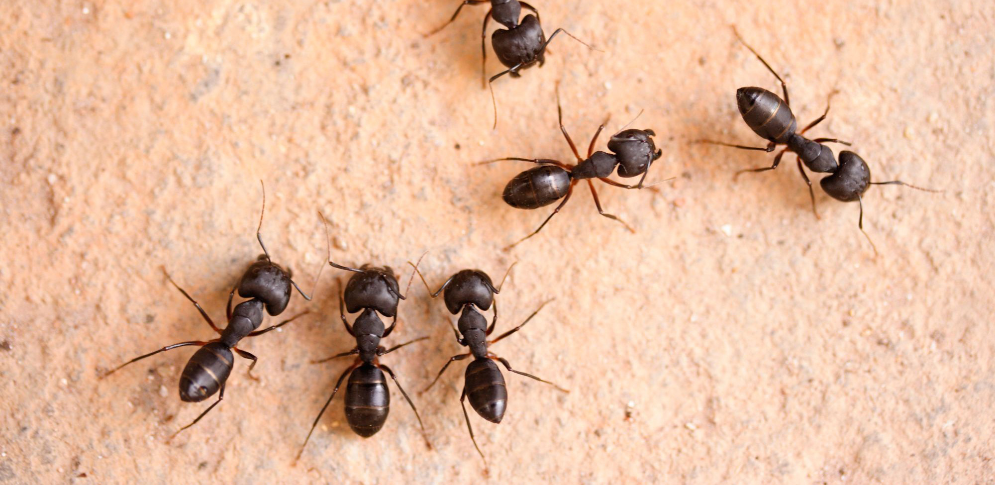 Aacute Pest Control - Carpenter Ant Pictures