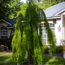 cascade-falls-bald-cypress-2