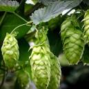 cascade-hops-3