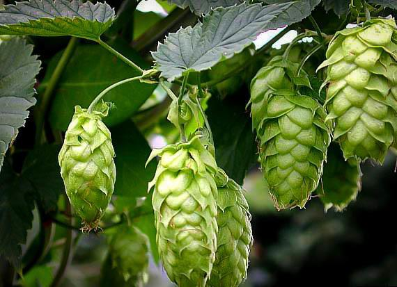 Cascade Hops Plant For Sale Online The Tree Center