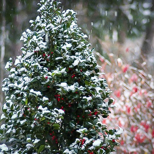 Castle Spire 174 Blue Holly Quot Heckenfee Quot For Sale The Tree