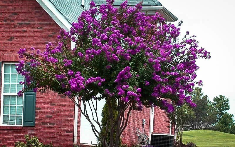 Catawba Crape Myrtle In Front Yard