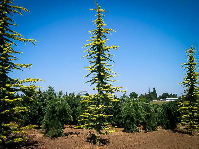 golden atlas cedar trees for sale online the tree center�