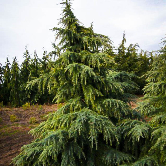 Feelin Blue Deodar Cedar For Sale Online The Tree Center