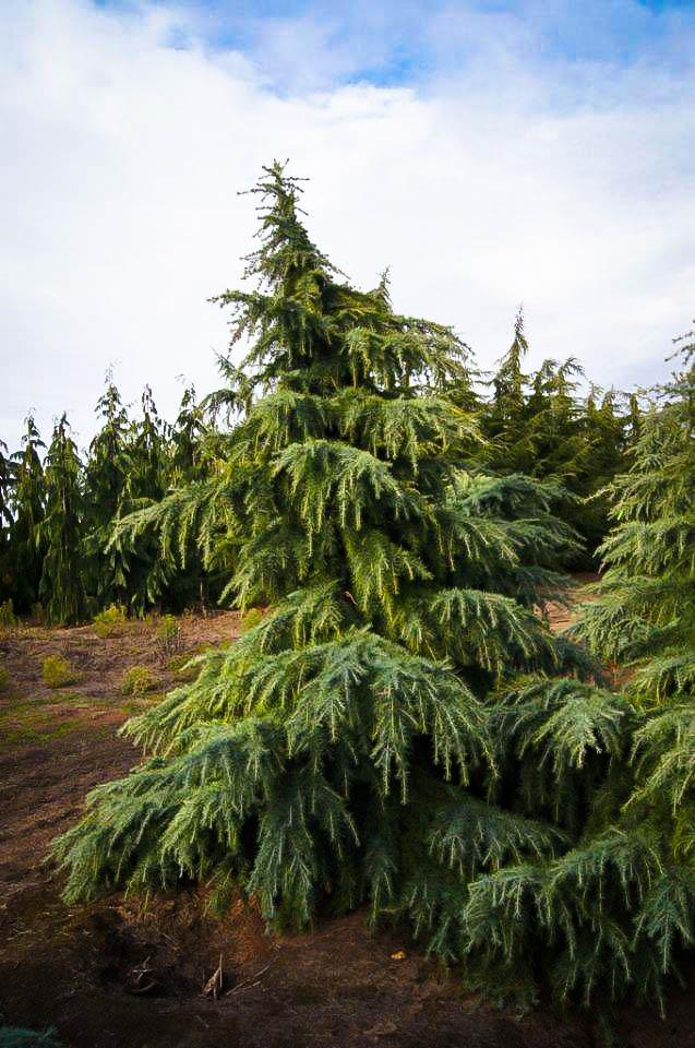 Feelin Blue Deodar Cedar For Sale Online The Tree Center