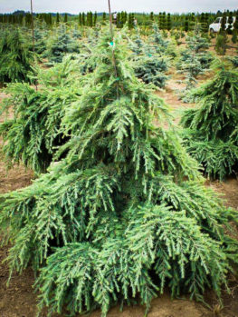 Feelin Blue Deodar Cedar
