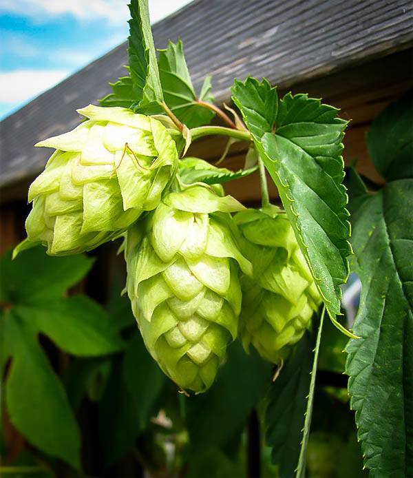 Centennial Hops Plant For Sale Online The Tree Center