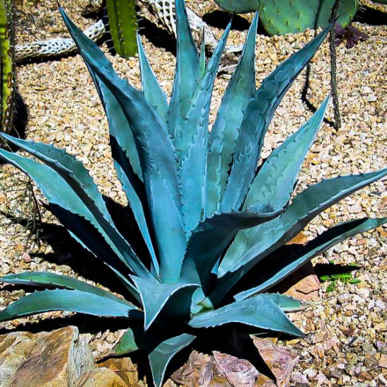 Blue American Agave Plants For Sale The Tree Center