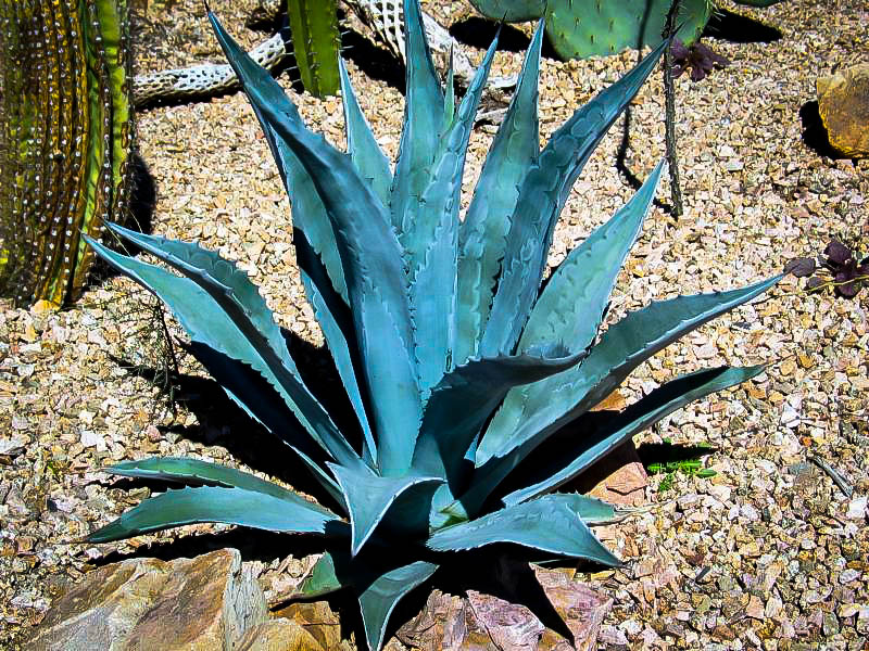 blue american agave plants for sale the tree center�