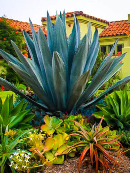Blue American Agave