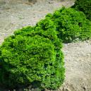 Hinoki Cypress 'Nana'