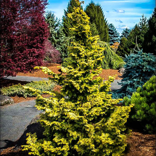 Cedar Tree Apartments: Confucius Hinoki Cypress Trees For Sale
