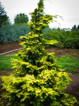 Confucius Hinoki Cypress