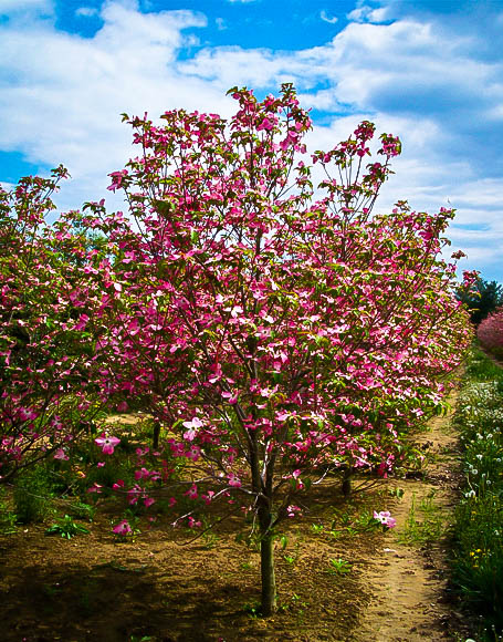 Cherokee brave dogwood tree for sale online the tree center cherokee brave dogwood cherokee brave dogwood mightylinksfo