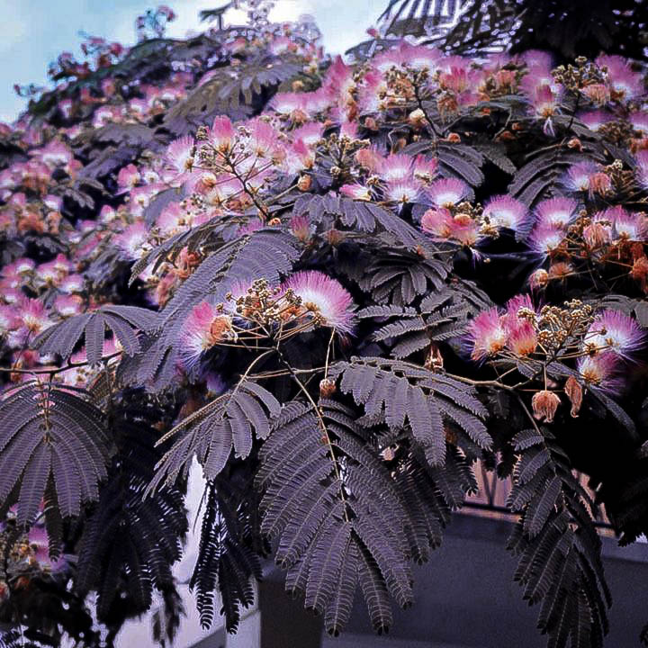 Chocolate mimosa silk tree for sale online the tree center chocolate mimosa tree flowers mightylinksfo