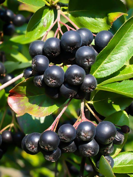 Home Fruit Trees Berry Bushes