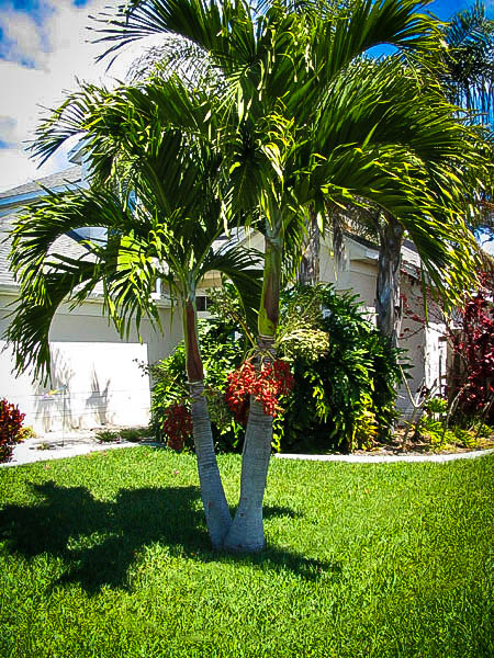 Christmas Palm Trees For Sale Online The Tree Center