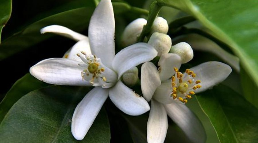 Pollinate Your Citrus Trees for a Bumper Crop