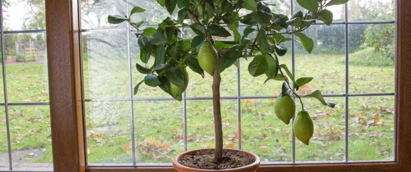 Tips On Overwintering Patio Trees