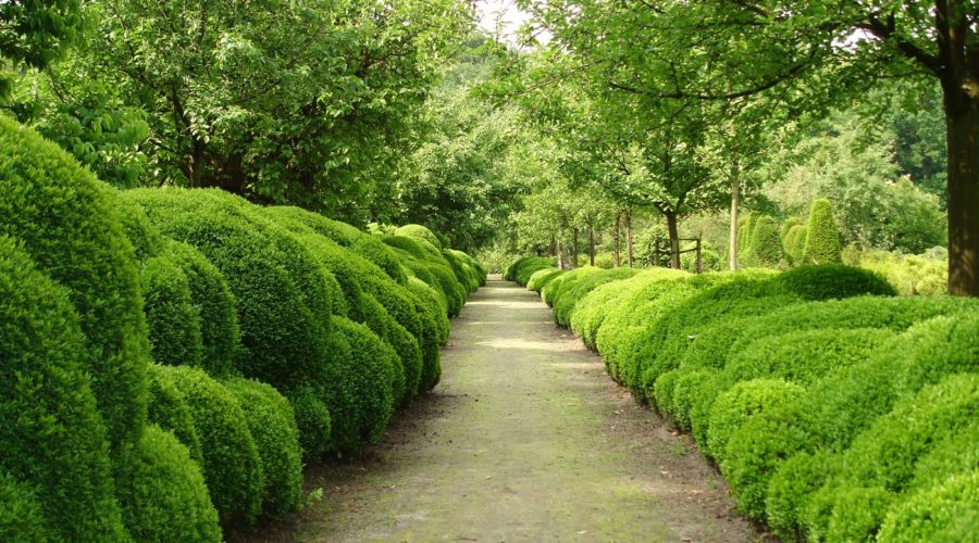 American Boxwood – More Versatile Than You Thought
