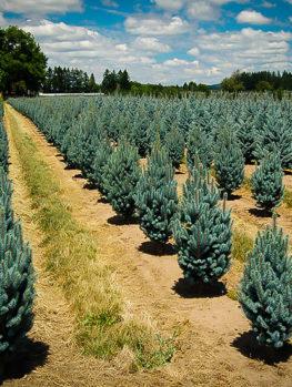 Columnar Blue Spruce
