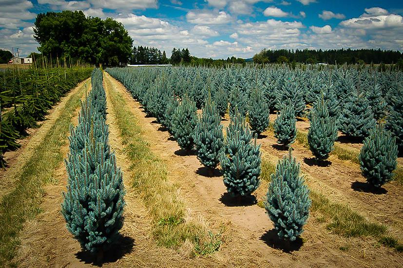 Columnar Blue Spruce The Tree Center