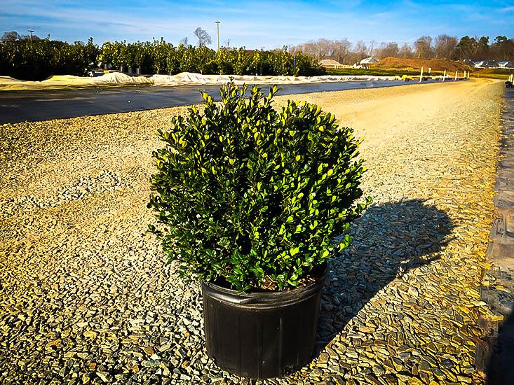 Mature trees for sale massachusetts