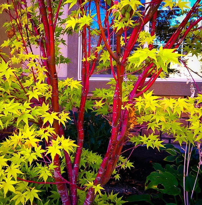 Consider, Coral bark japanese maple bonsai agree with