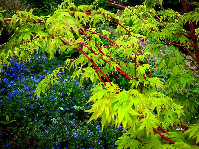 Coral bark japanese maple for sale online the tree center coral japanese maple tree bark red coral japanese maple tree bark and leaves mightylinksfo