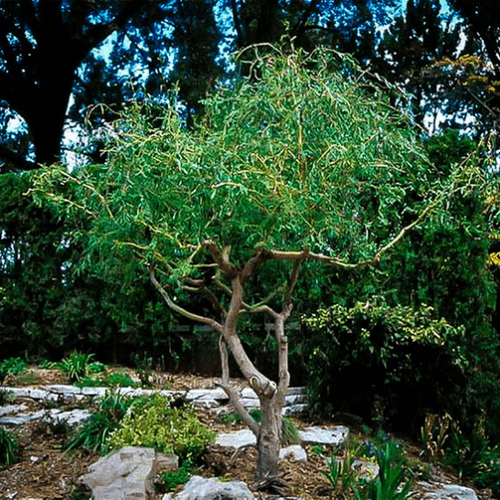 Corkscrew Willow For Sale Online The Tree Center