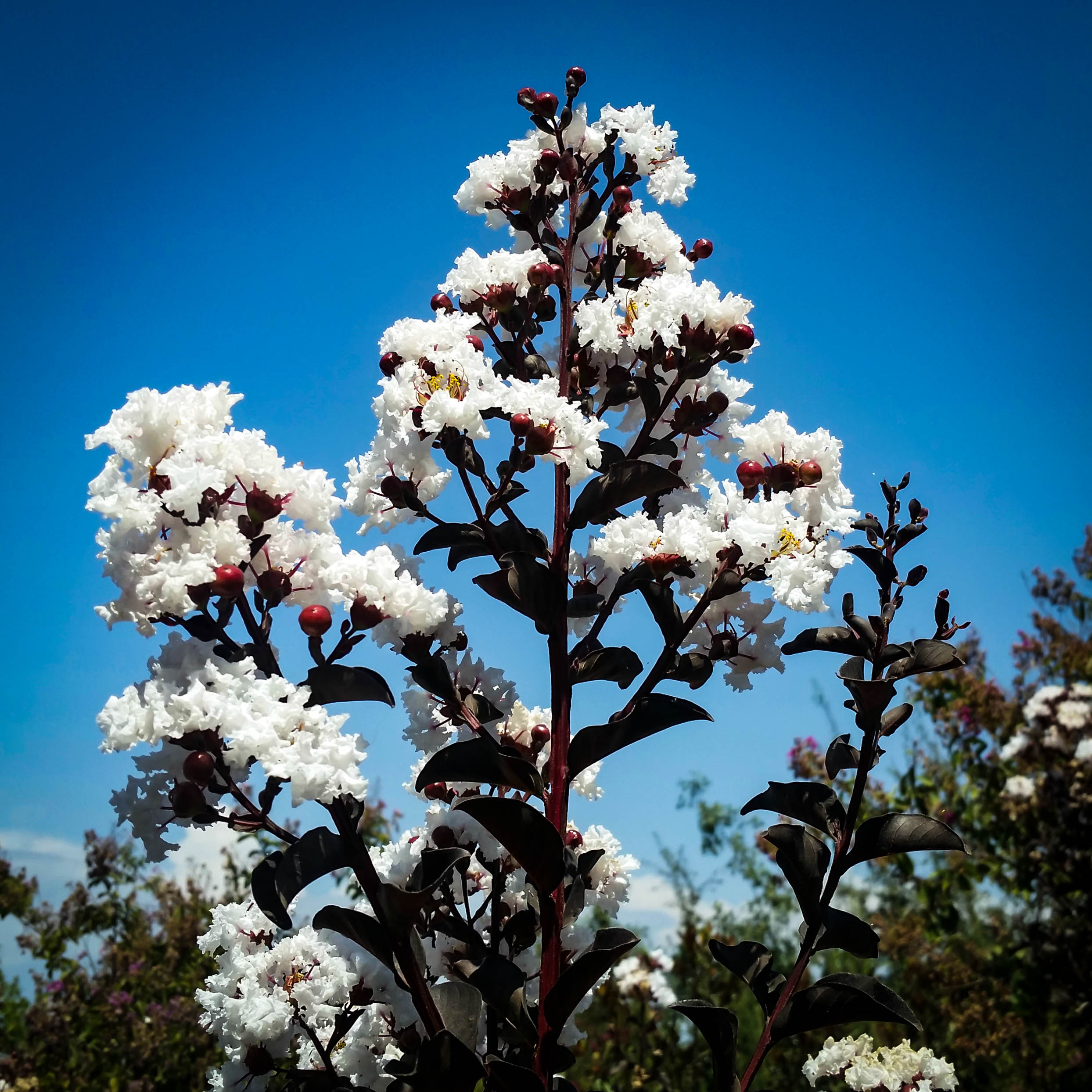 Pure White Black Diamond 174 Crape Myrtles For Sale The