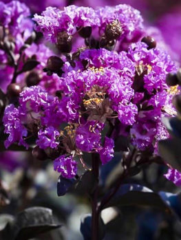 Purely Purple™ Black Diamond® Crape Myrtle