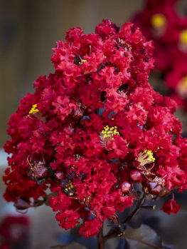 Red Hot™ Black Diamond® Crape Myrtle