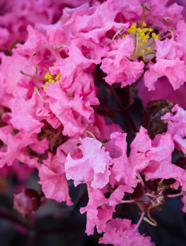 Shell Pink™ Black Diamond® Crape Myrtle