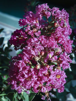 Coral Magic Crape Myrtle