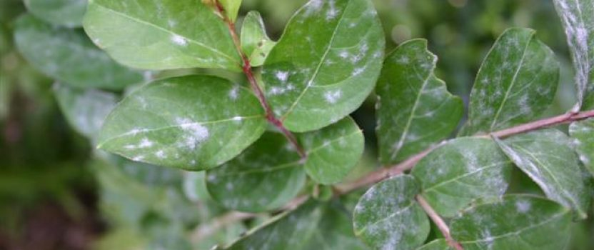 Diseases of Crape Myrtles