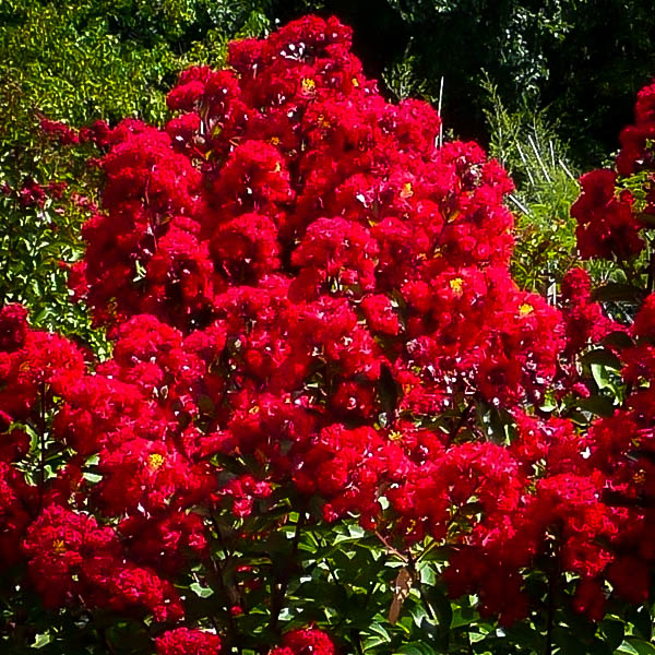 Buy Miss Francis Crape Myrtle Trees Online The Tree Center