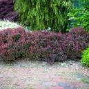 crimson-pygmy-barberry-1