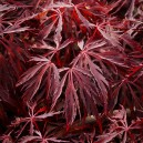 Crimson Queen Laceleaf Japanese Maple