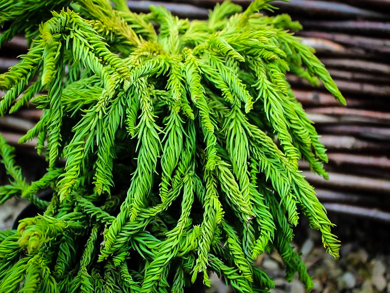 Spiral Japanese Cedar For Sale Online The Tree Center