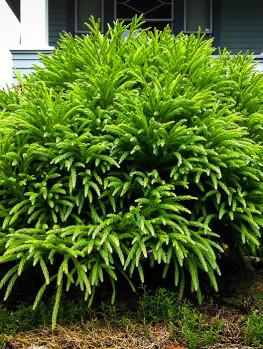 Spiral Japanese Cedar