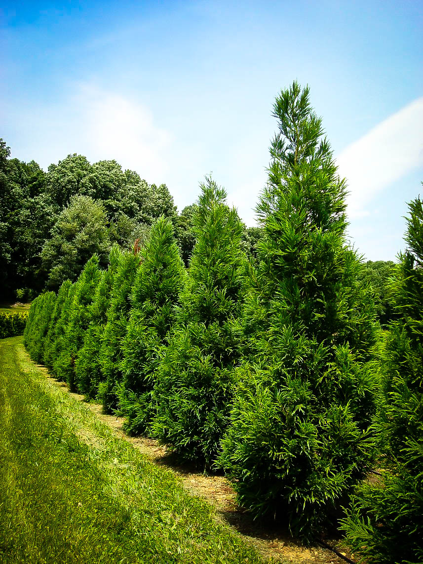 Trees Of Santa Cruz County Nyssa Sylvatica: Yoshino Japanese Cryptomeria For Sale Online