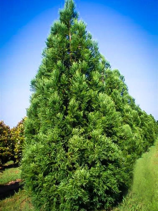 Buy mature cedar trees
