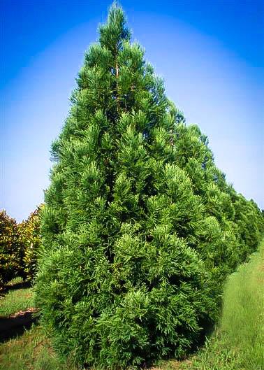 Yoshino japanese cryptomeria for sale online the tree center for Arboles jardin hoja perenne