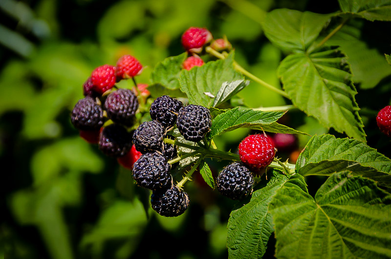 Cumberland Black Raspberry Bushes For Sale The Tree Center