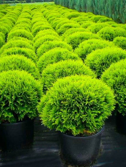 Fast growing shade trees and ornamental trees trees for for Ornamental trees that grow in shade
