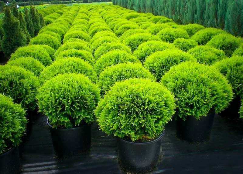 Danica Globe Thuja Arborvitae For Sale Online